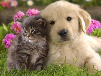 gray tabby kitten cat rubbing up against a golden retriever puppy dog in grass in a garden scene with pink flowers behind them.