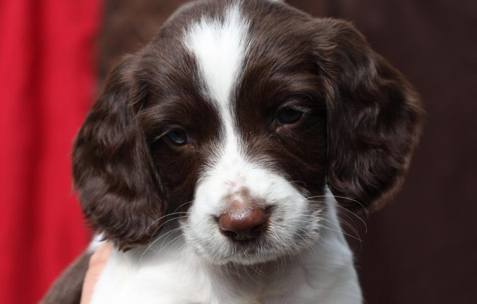 working-english-springer-spaniel-puppy