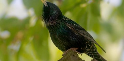 Zoo Just for You - learn to identify many Utah birds like the European Starling.
