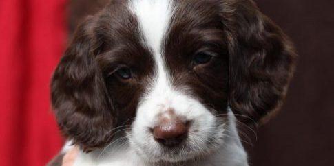 working-english-springer-spaniel-puppy