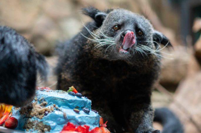 See Photos of the Binturongs' 4th Birthday at Loveland Living Planet Aquarium